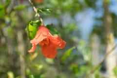 Закройте вверх по красному цветку в саде Стоковая Фотография