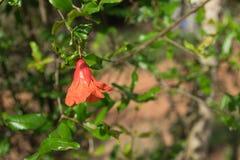 Закройте вверх по красному цветку в саде Стоковое Изображение RF