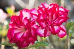 Закройте вверх по красному Adenium, красному цветку на предпосылке природы Стоковая Фотография RF