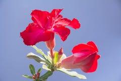 Закройте вверх по красному Adenium, красному цветку на предпосылке природы Стоковая Фотография