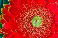 Закройте вверх по красному gerbera Стоковая Фотография RF