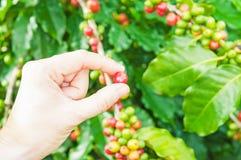 Закройте вверх по красным кофейным зернам ягод стоковое фото