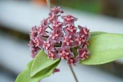 Закройте вверх по красным цветкам Hoya (Parasitica Hoya) Стоковое Фото