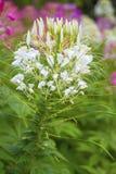 Закройте вверх по красочному цветков паука Стоковая Фотография