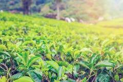 Закройте вверх по лист зеленого чая стоковые изображения rf
