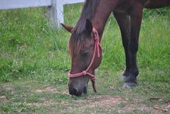 Закройте вверх по лошади есть траву Стоковое Изображение