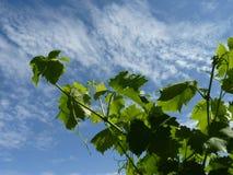 Закройте вверх по макросу ветвей виноградной лозы Стоковое Изображение RF