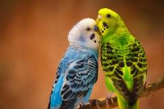Закройте вверх по макросу волнистого попугайчика пар Стоковые Фотографии RF