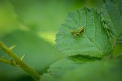 Закройте вверх по макросу кузнечика на зеленых лист в лесе Стоковое фото RF