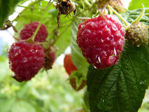 Закройте вверх по макросу падений воды на плодоовощ Буше красной поленики Стоковое фото RF