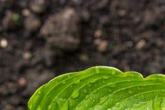Закройте вверх по макросу яркого ого-зелен руководства с падениями росы Стоковая Фотография