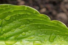 Закройте вверх по макросу яркого ого-зелен руководства с падениями росы Стоковое Изображение