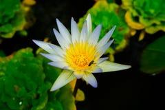 Закройте вверх по малому зацветая белому лотосу в пруде с тлей на плодолистике Стоковое Фото