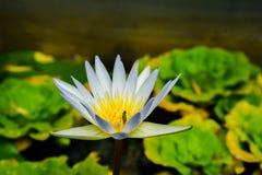 Закройте вверх по малому зацветая белому лотосу в пруде с тлей на плодолистике Стоковые Фотографии RF