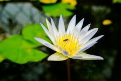 Закройте вверх по малому зацветая белому лотосу в пруде с тлей на плодолистике Стоковая Фотография RF