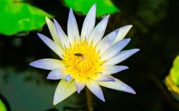 Закройте вверх по малому зацветая белому лотосу в пруде с тлей на плодолистике Стоковые Изображения