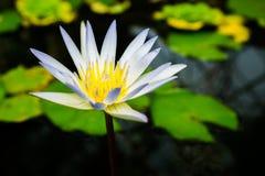 Закройте вверх по малому зацветая белому лотосу в пруде Стоковая Фотография RF