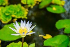 Закройте вверх по малому зацветая белому лотосу в пруде Стоковые Изображения