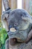 Закройте вверх по медведю коалы спать на дереве Стоковое Фото