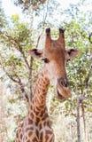 Закройте вверх по молодой головной стороне camelopardalis Giraffa жирафа Стоковое Изображение RF