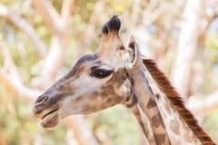 Закройте вверх по молодой головной стороне camelopardalis Giraffa жирафа Стоковые Изображения RF