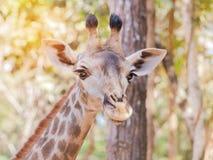 Закройте вверх по молодой головной стороне camelopardalis Giraffa жирафа Стоковая Фотография