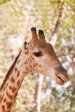 Закройте вверх по молодой головной стороне camelopardalis Giraffa жирафа Стоковое Изображение