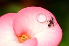 Закройте вверх по муравью на розовом цветке Стоковое фото RF