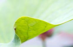 Закройте вверх по мягкой предпосылке конспекта лист лотоса Стоковые Фотографии RF