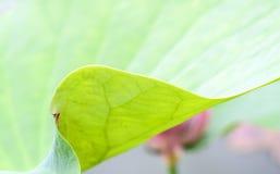 Закройте вверх по мягкой предпосылке конспекта лист лотоса Стоковые Изображения