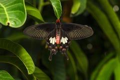 Закройте вверх по надфюзеляжному взгляду arist Pachliopta бабочки общего розового Стоковые Фотографии RF