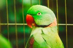 Закройте вверх по ожереловому попугаю Eupatria длиннохвостого попугая Alexandrine Стоковые Фотографии RF