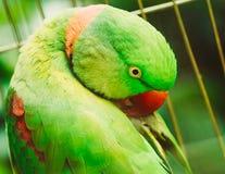 Закройте вверх по ожереловому попугаю Eupatria длиннохвостого попугая Alexandrine Стоковые Изображения
