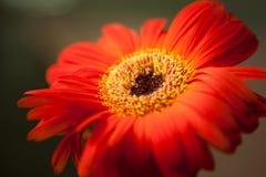 Закройте вверх по оранжевому цветку стоковое изображение rf