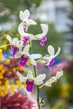 Закройте вверх по орхидее dendrobium в саде Стоковая Фотография RF
