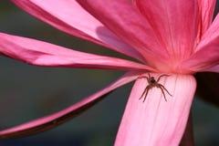Закройте вверх по лотосу с малым пауком Стоковое Изображение