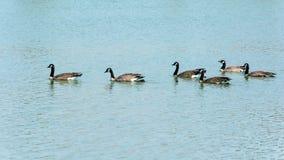 Закройте вверх по одичалой гусыне в озере Стоковые Изображения RF