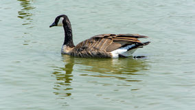 Закройте вверх по одичалой гусыне в озере Стоковая Фотография RF