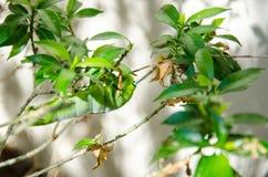 Закройте вверх по одичалым гусеницам зеленого цвета насекомого Стоковая Фотография