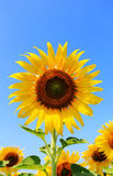 Закройте вверх по одному солнцецвету Стоковая Фотография RF