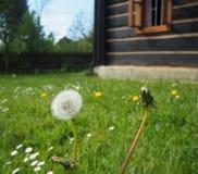 Закройте вверх по одуванчику на зацветая траве с старыми timbered людьми стоковые изображения