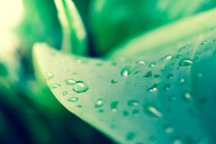 Закройте вверх по падению воды на больших зеленых лист используя как предпосылку Стоковое фото RF