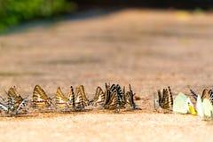 Закройте вверх по питью бабочки монарха воду на том основании Стоковые Изображения RF