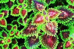 Закройте вверх по покрашенной предпосылке лист крапивы Стоковые Изображения