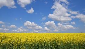 Закройте вверх по полю рапса под пасмурным голубым небом Стоковые Изображения