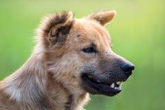 Закройте вверх по портрету бездомной собаки, бродячей собаке Стоковая Фотография RF