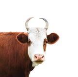 Закройте вверх по портрету белой и коричневой коровы Стоковые Изображения RF