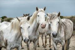 Закройте вверх по портрету белых лошадей Camargue Стоковая Фотография RF