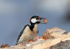 Закройте вверх по портрету большого запятнанного woodpecker с фундуком в клюве Стоковые Фото