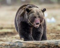 Закройте вверх по портрету бурого медведя с кров-запятнанным намордником Стоковая Фотография RF
